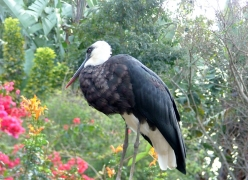 harry-the-woolynecked-stork
