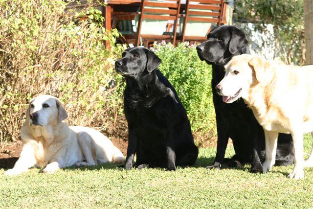 shenindor-dogs